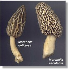 Yellow Morels